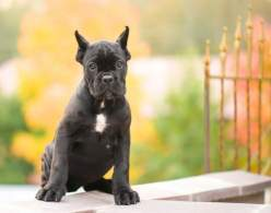 Black Cane Corso Puppy with Ears Cropped