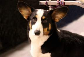 Black & White Cardigan Welsh Corgi