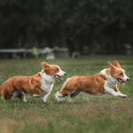 Two Red & White Cardigan Welsh Corgis Playing
