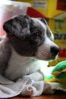 Gray & White Cardigan Welsh Corgi Puppy