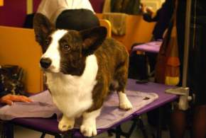 Brindle & White Cardigan Welsh Corgi