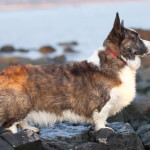 Sable Merle & White Cardigan Welsh Corgi