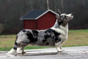 Blue Merle & White Cardigan Welsh Corgi