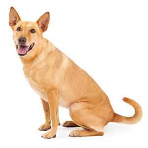 Buff Carolina Dog