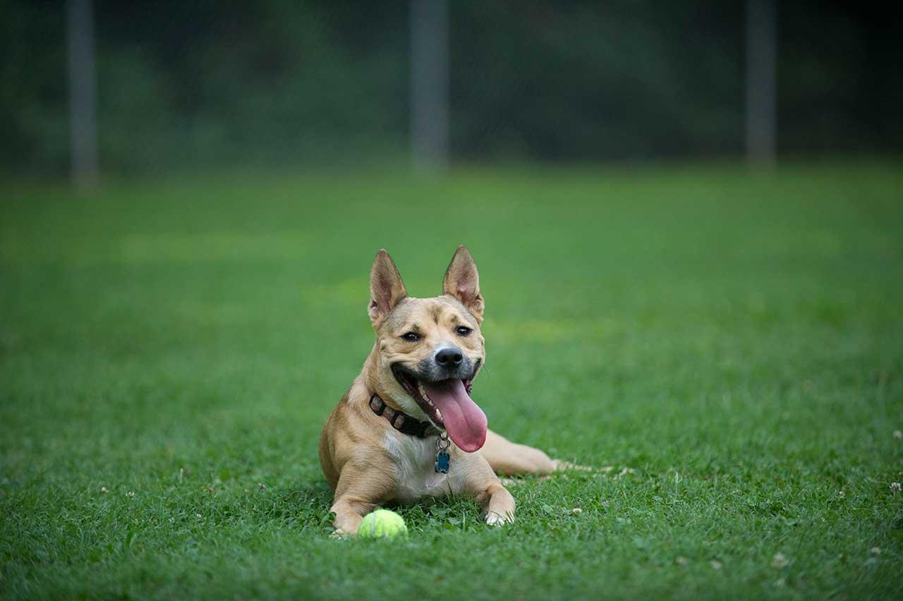 Carolina Dog Dog Breed » Everything About Carolina Dogs
