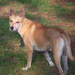 Buff Colored Carolina Dog