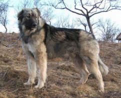 Grey Carpathian Shepherd Dog