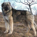 Grey Carpathian Shepherd Dog