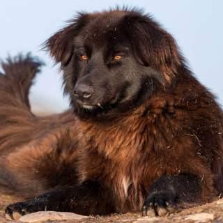 Black Carpathian Shepherd Dog