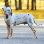 White & Black Catahoula Leopard Dog