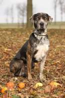 Tri-Color Catahoula Leopard Dog