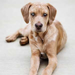Tan Catahoula Leopard Puppy