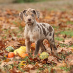 White & Brown Catahoula Leopard Puppy