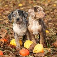 Black & White Catahoula Leopard Puppy