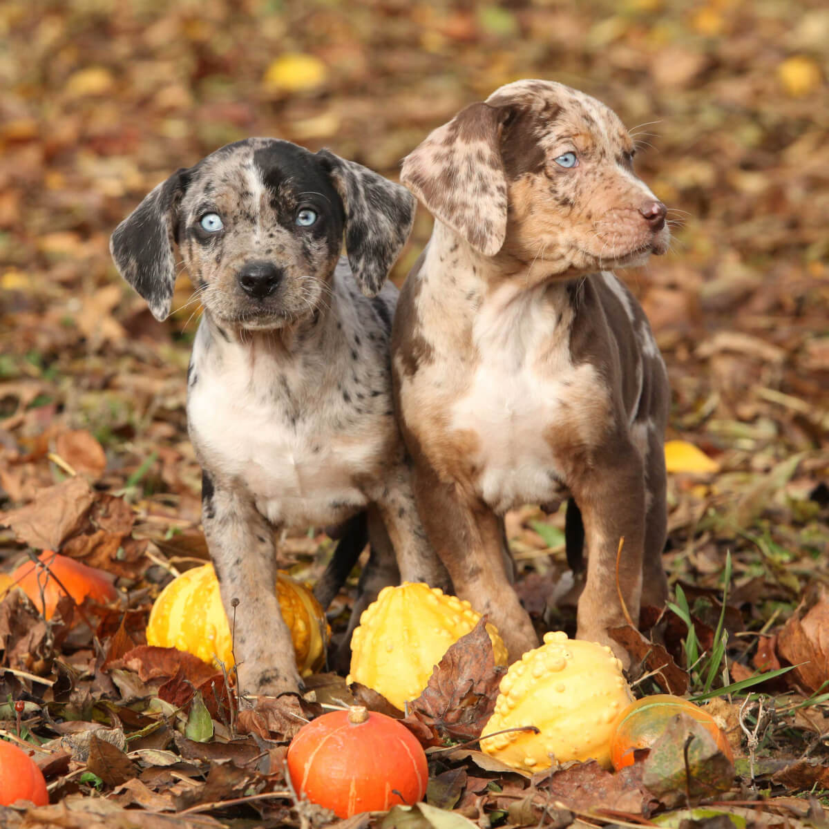 Catahoula Leopard Dog Dog Breed 187 Everything About