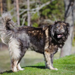 Black Caucasian Shepherd Dog