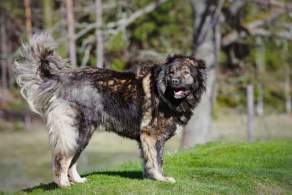 Black Caucasian Shepherd Dog