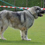 Gray Caucasian Shepherd Dog