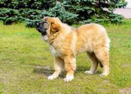 Fawn Caucasian Shepherd Dog