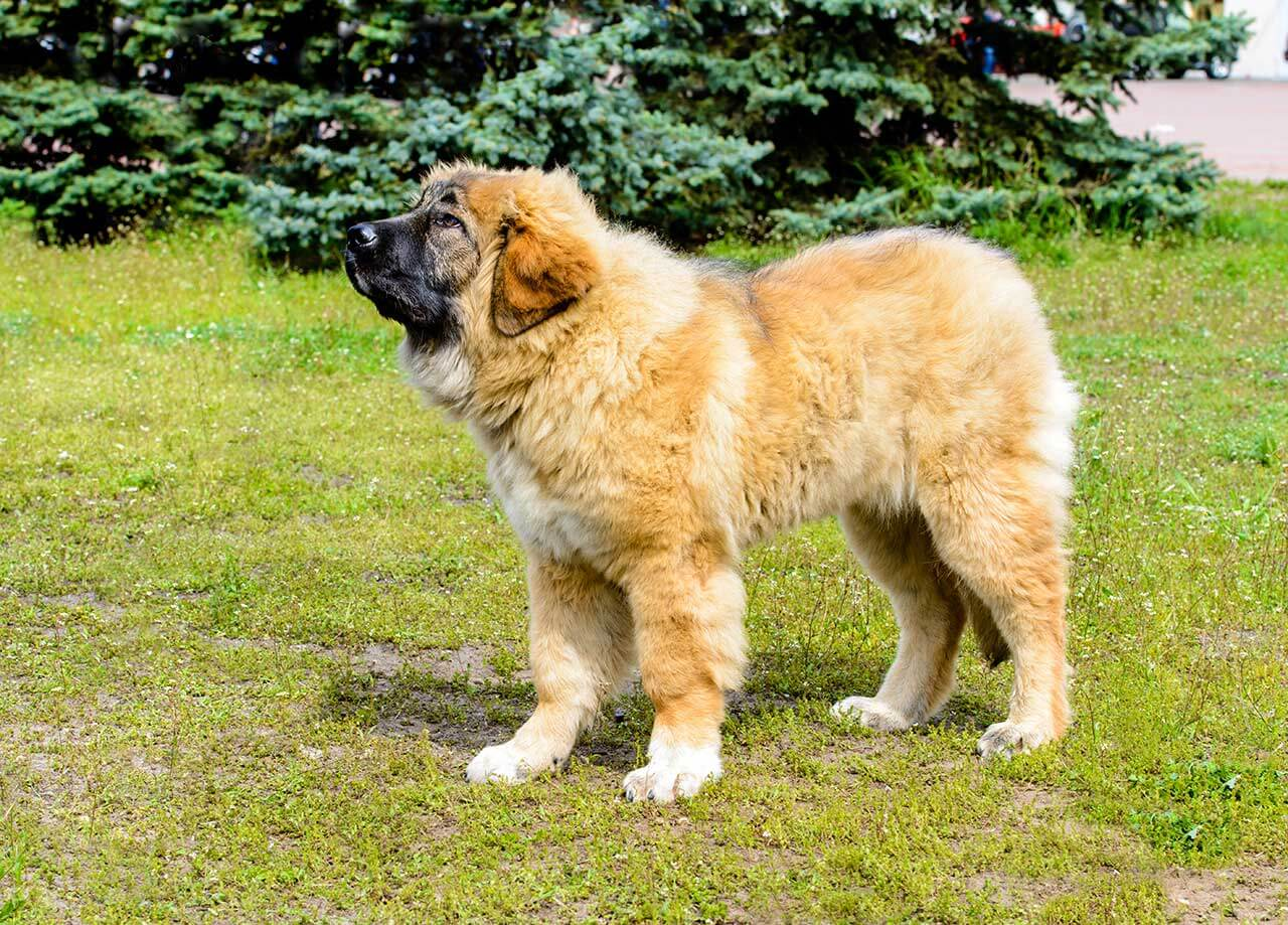 Caucasian Shepherd Dog Breed 187 Everything About Caucasian