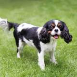 Happy Cavalier King Charles Spaniel