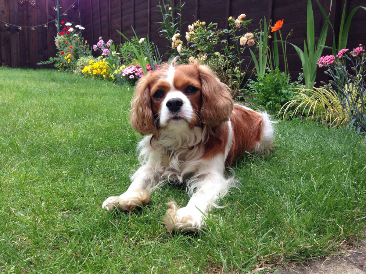 Cavalier King Charles Spaniel Rescue Sc