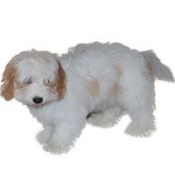 Cavanese Dog Breed