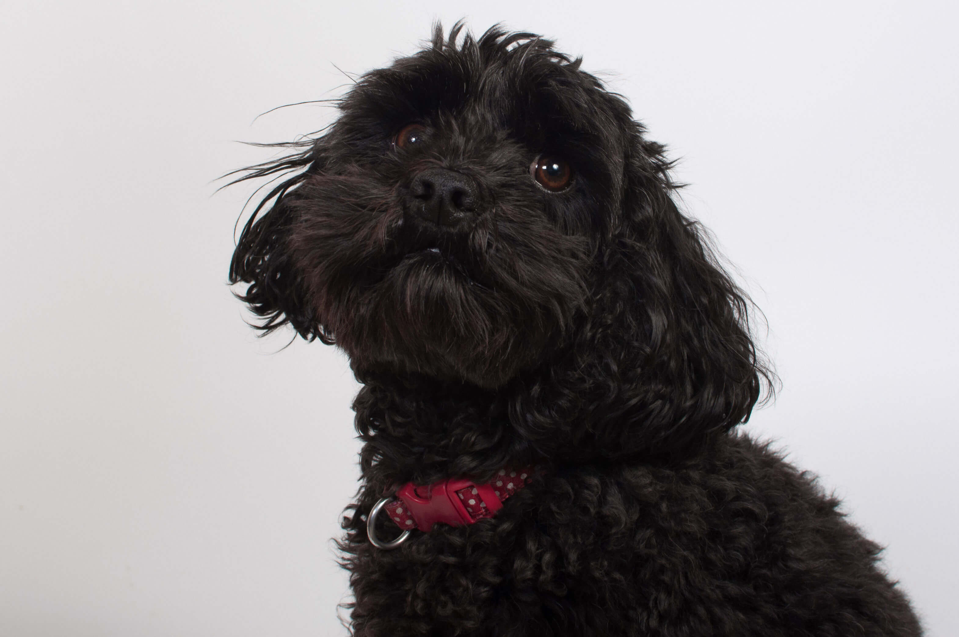 Cavapoo Dog Breed 187 Breed Info Pictures Amp More