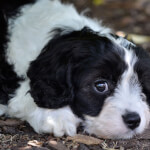 Black & White Cavapoo Puppy