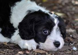 Black & White Cavapoo Puppy