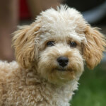 Cream Cavapoo