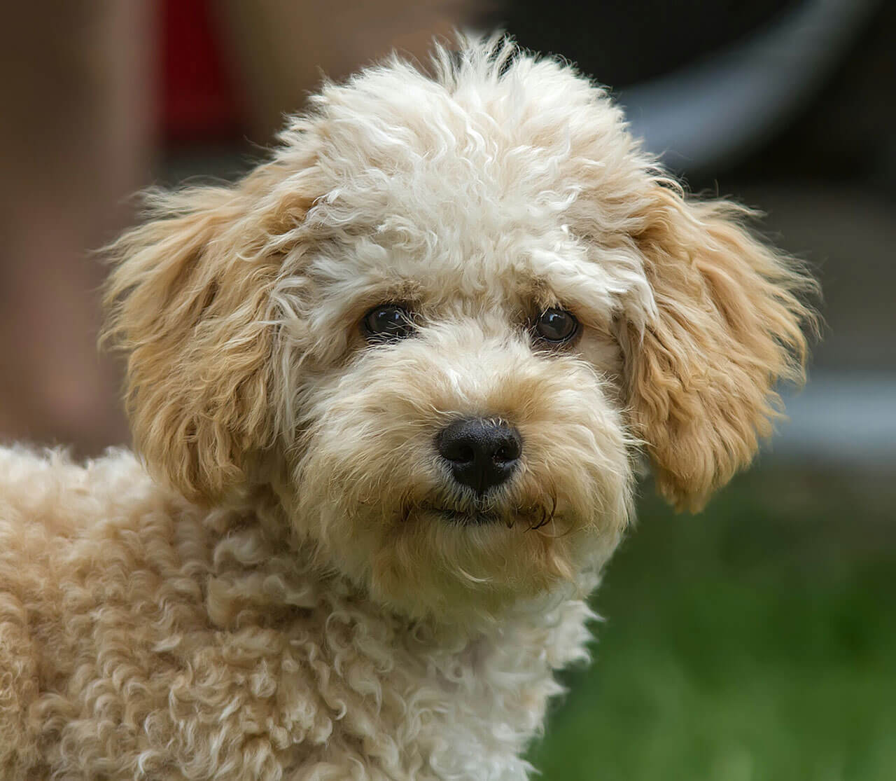 Image Result For Cavapoo X Poodle