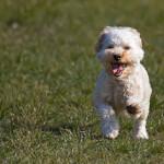 White Cavapoo Puppy Running