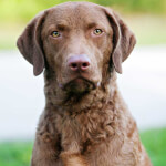 Chocolate Brown Chesapeake Bay Retriever