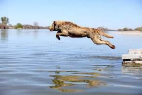 Chesapeake Bay Retriever Jumping in Water