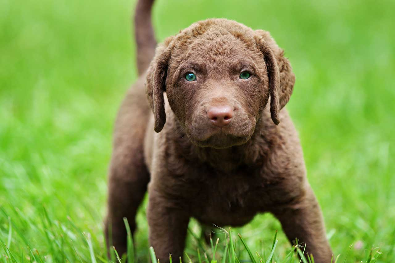 chesapeake bay retriever dog breed everything about