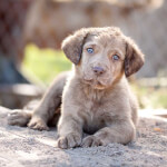 Deadgrass Chesapeake Bay Retriever Puppy