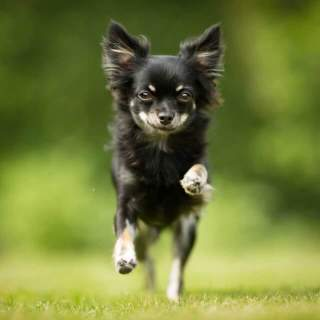 Chihuahua Running in Grass