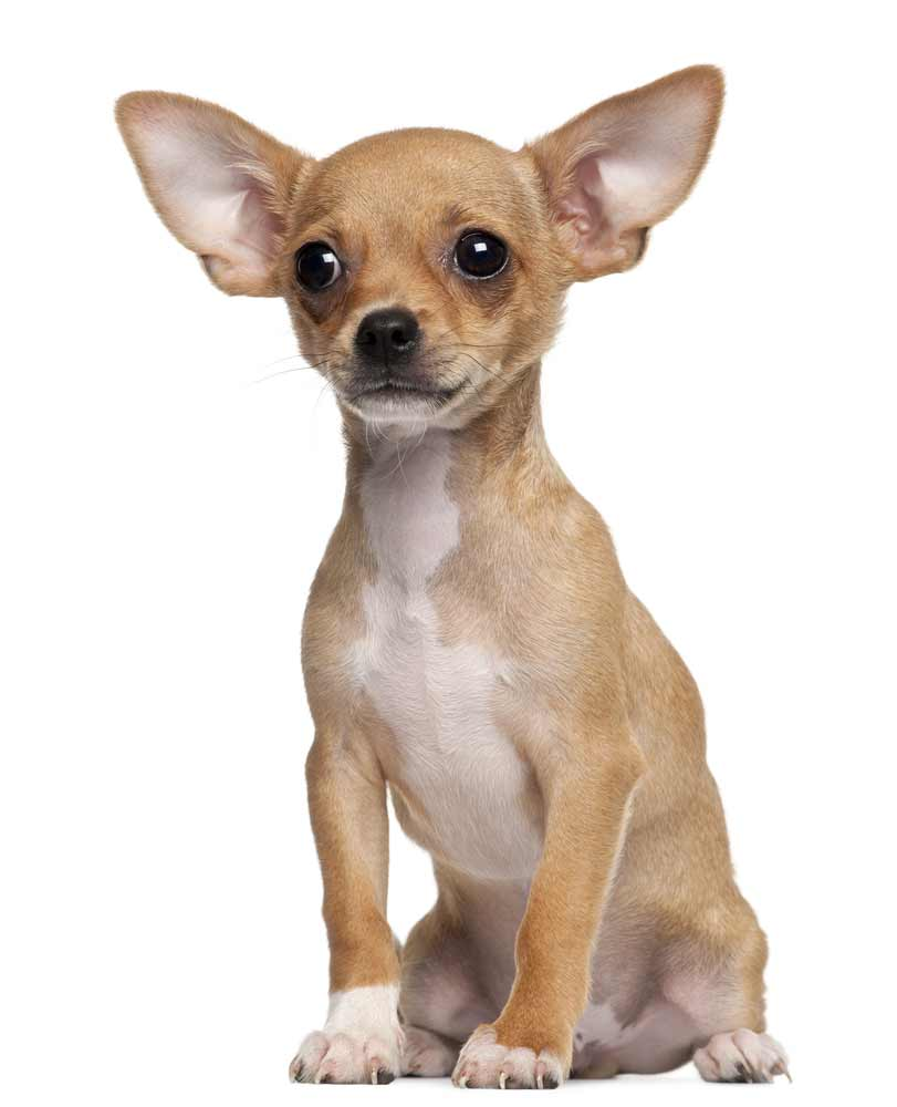 Chihuahua Dog Breed Information Pictures More