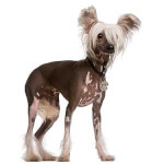 White Chinese Crested