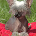 Silver Chinese Crested