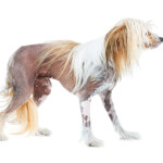 Apricot Chinese Crested