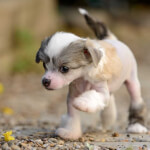 Black, White, & Tan Chinese Crested Puppy
