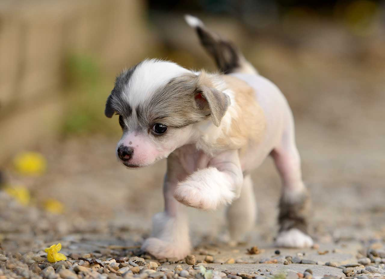 Chinese Crested Dog Breed 187 Everything About Chinese