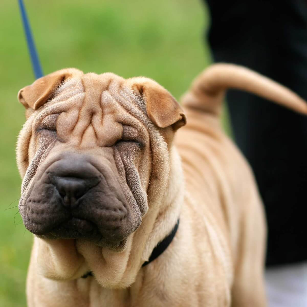 Chinese Shar Pei Breed Information Pictures More