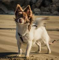 Brown & White Chion Dog