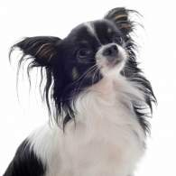 Black & White Chion Dog