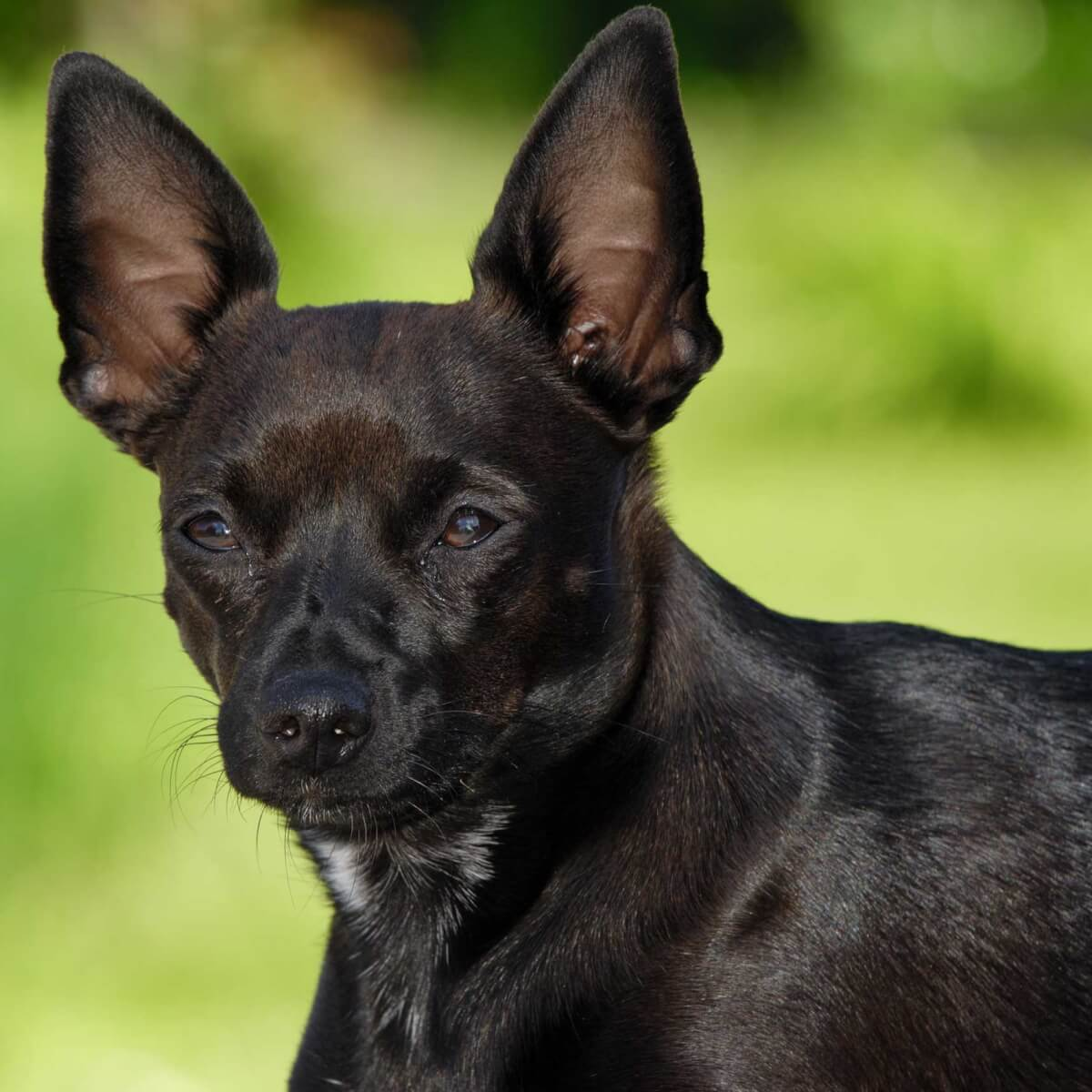 Chipin Dog Breed Everything About Min Pin Chihuahua Mixes