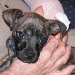 Chipit Puppy