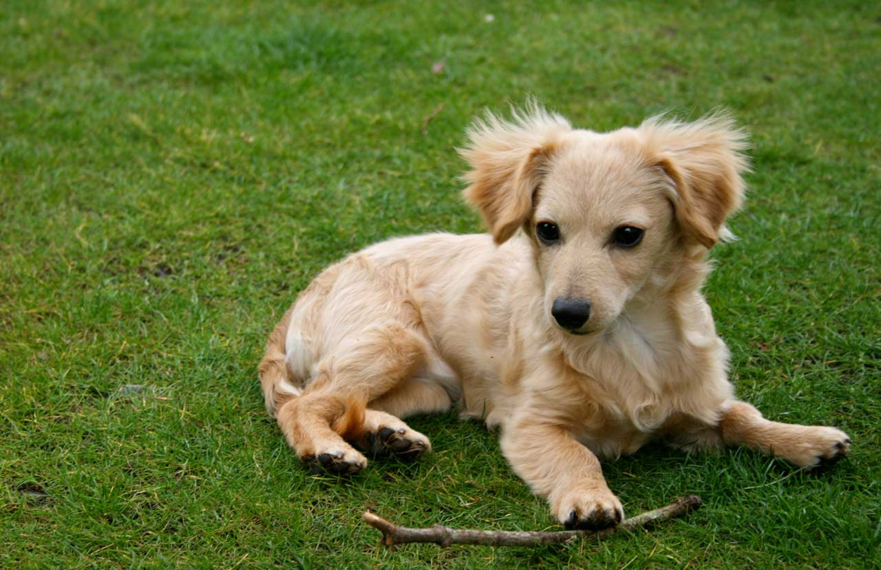 Chiweenie Dog Breed » Everything About Chiweenies Black And White Short Hair Chihuahua